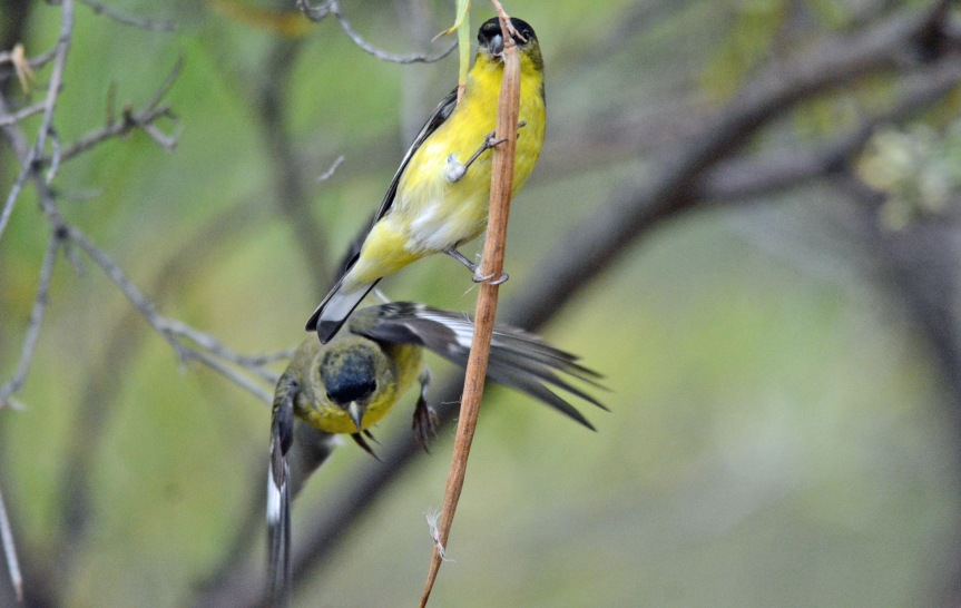2-goldfinches