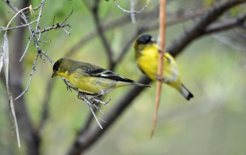 2-more-goldfinches