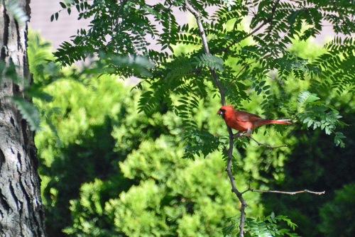 Cardinal Blessing