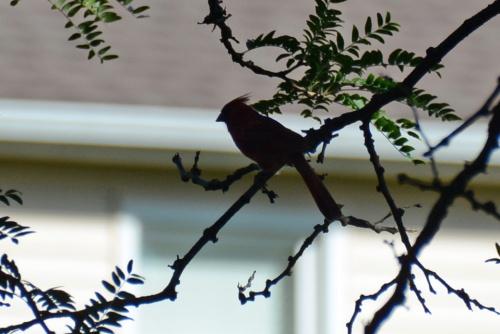 Cardinal Silhouette