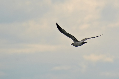 Gull Flying