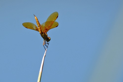 mexican-amberwing-gwr_edited-2
