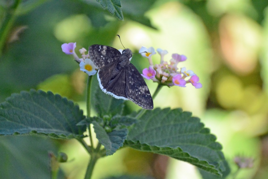 mournful-duskywing-1