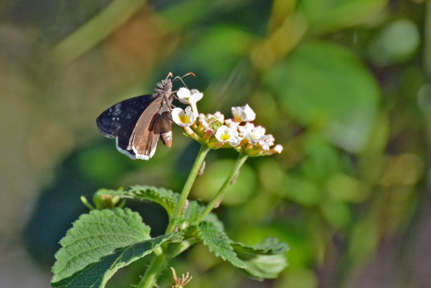 mournful-duskywing-2