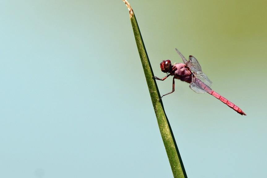 roseate-skimmer-gwr