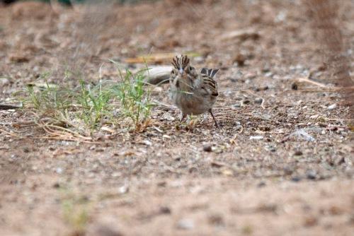 sparrow-2