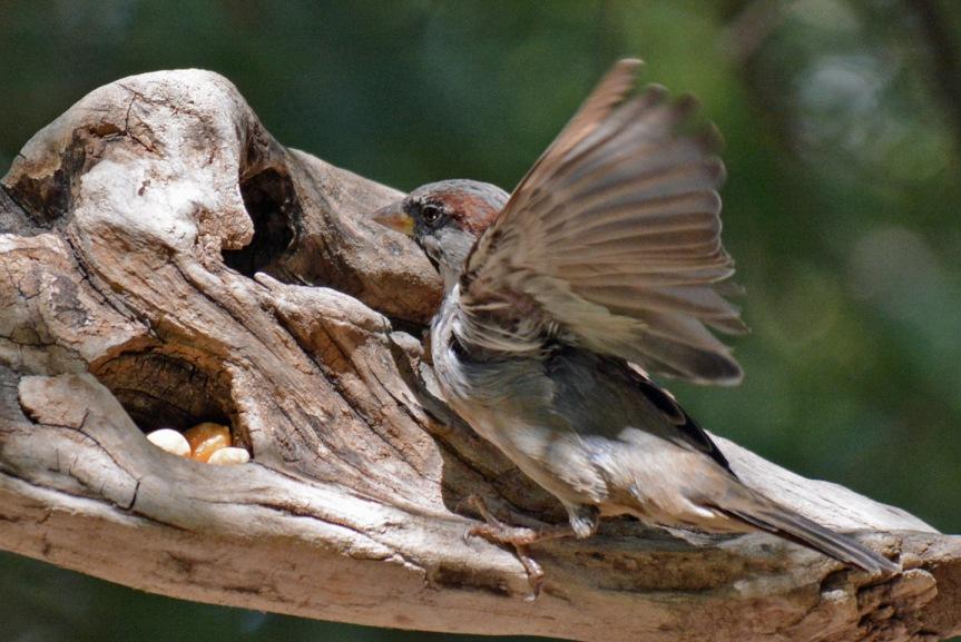 sparrow-perch-wings