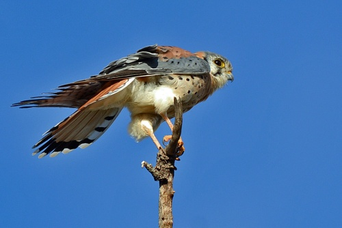 kestrel-boy