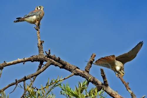 kestrel-couple