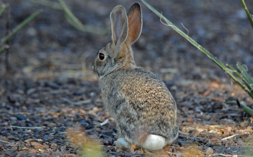 cottontail-sxg_edited-1