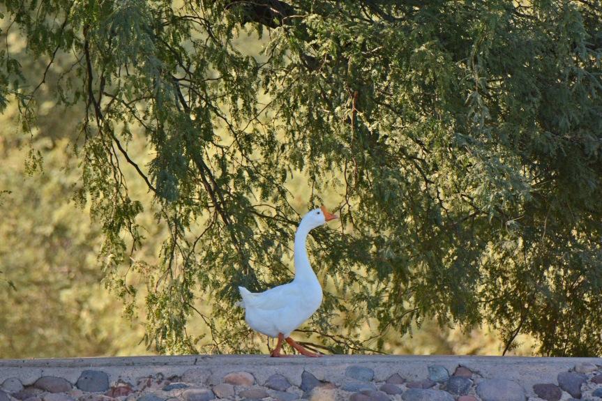 goose-in-woods