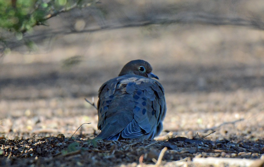 mourning-dove-sxg