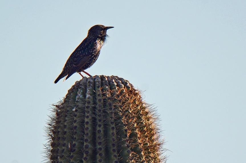 starling-11-19-16
