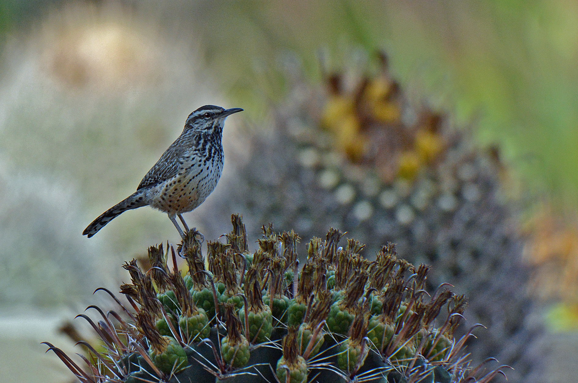 cactus wrens arizona state bird