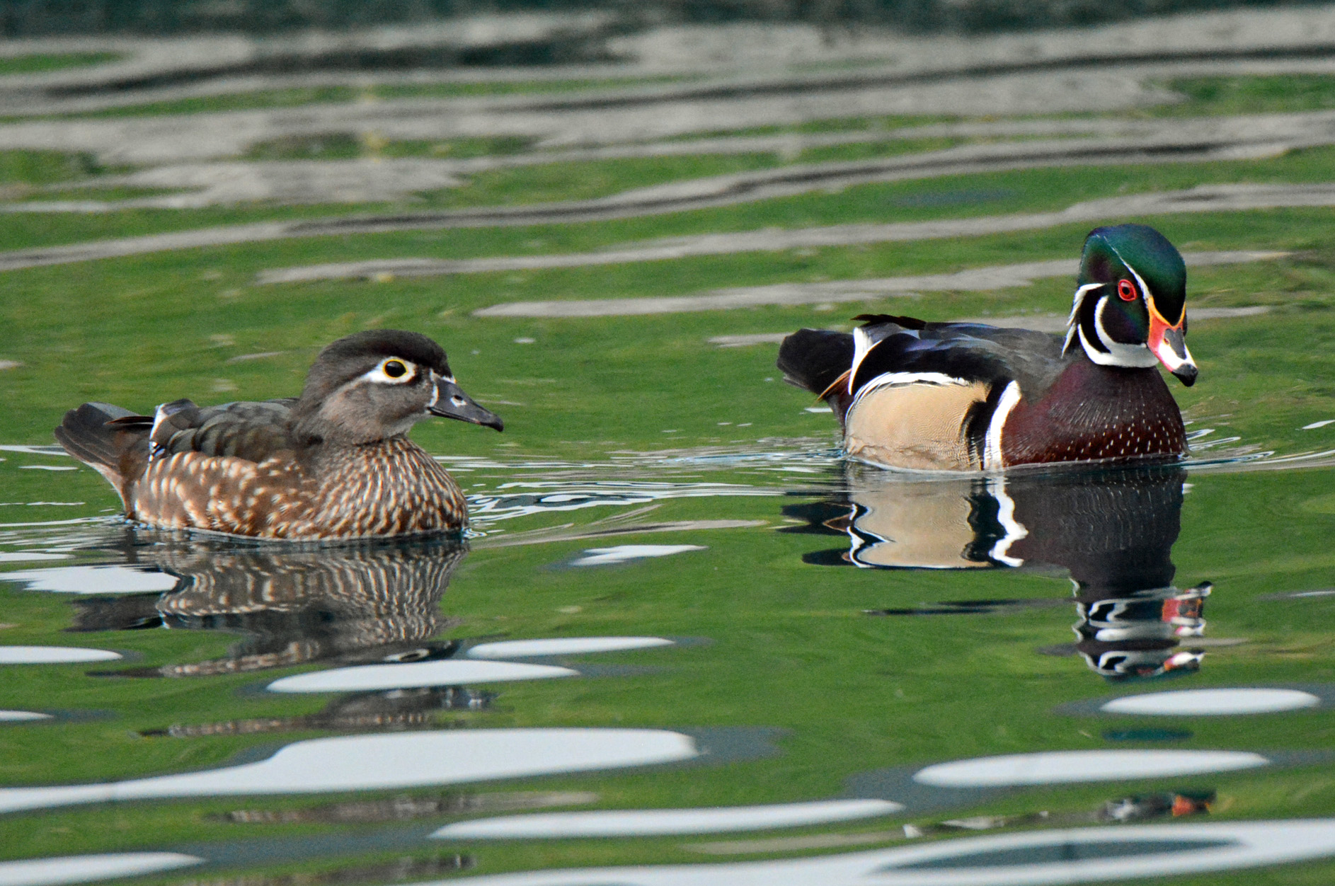 wood-duck-couple