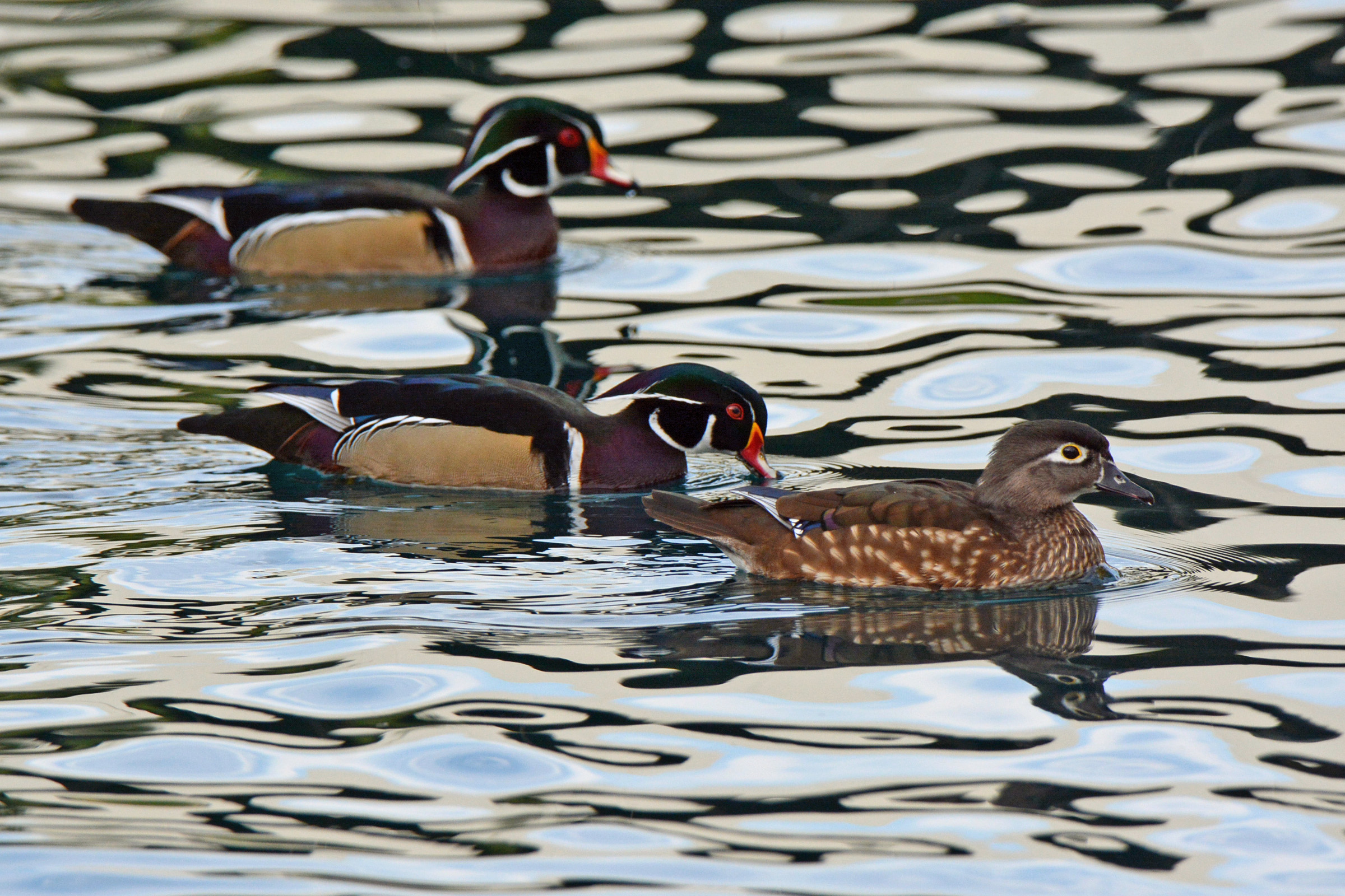 wood-ducks-3