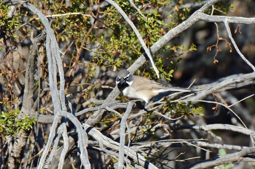 black-throated-sparrow-1