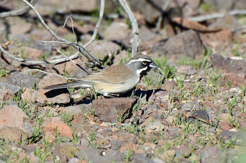 black-throated-sparrow-2