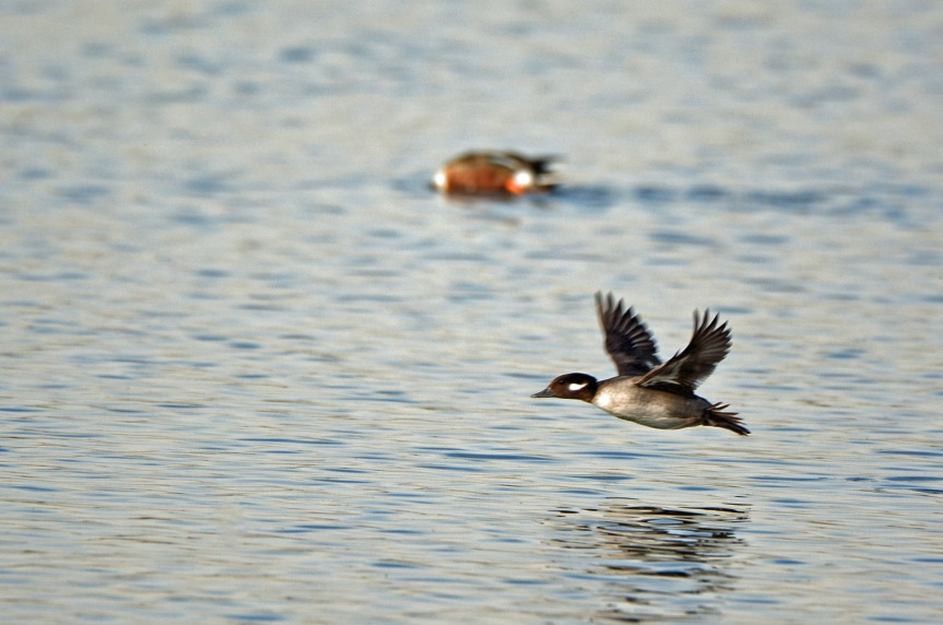 bufflehead-flying