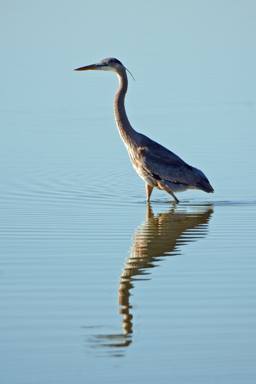 gb-heron_edited-1
