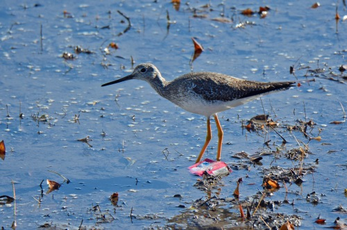greater-yellowlegs-2