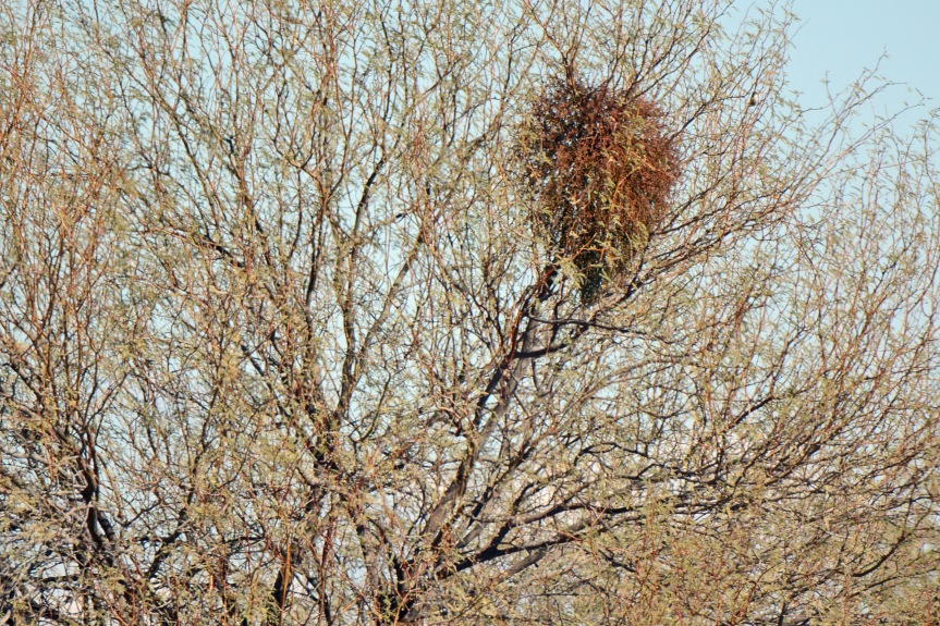 mistletoe-in-mesquite