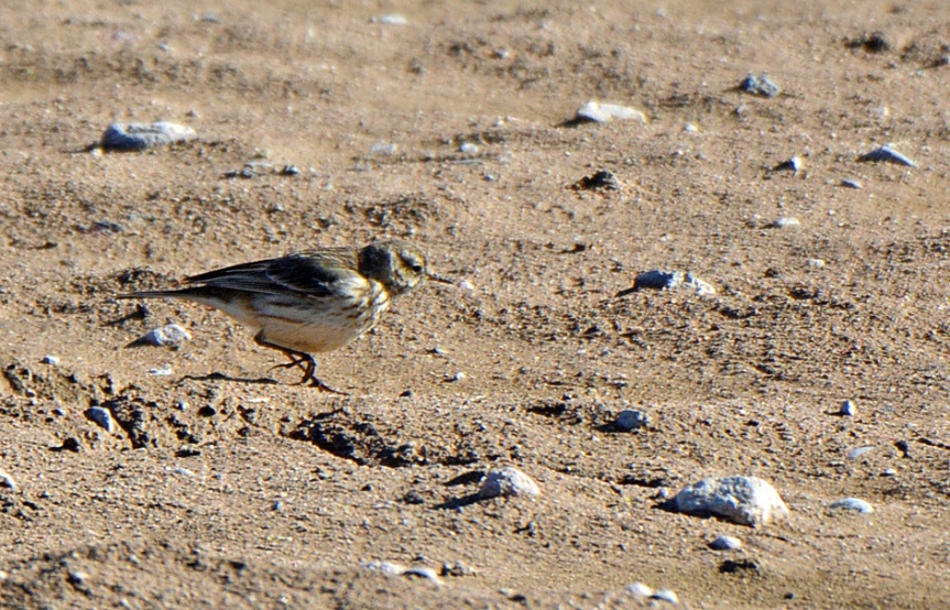 pipit-1_edited-1