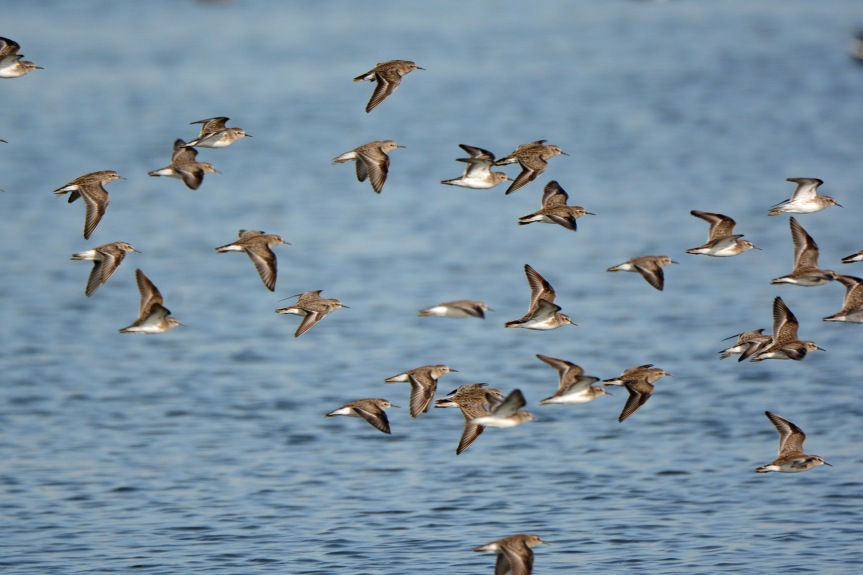 sandpipers-flying
