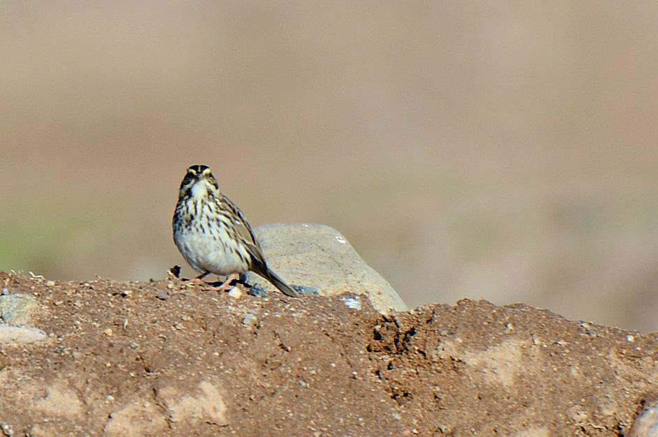 savannah-sparrow-2