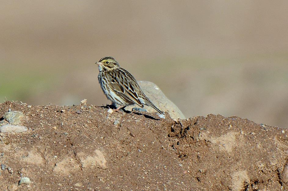 savannah-sparrow-3