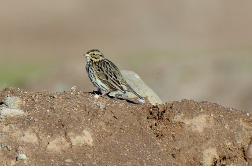 savannah-sparrow-3