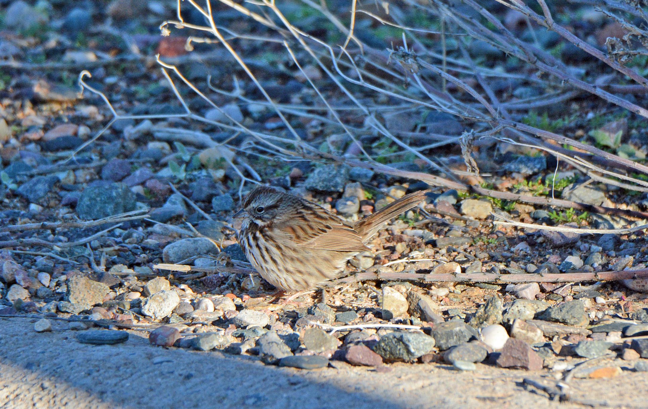 sparrow-song
