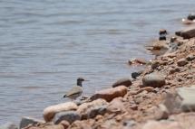 spotted-sandpiper-grp