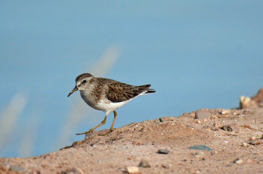 spotted-sandpiper
