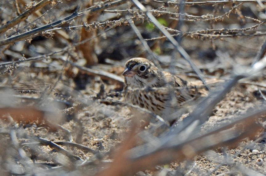 vesper-sparrow_edited-1
