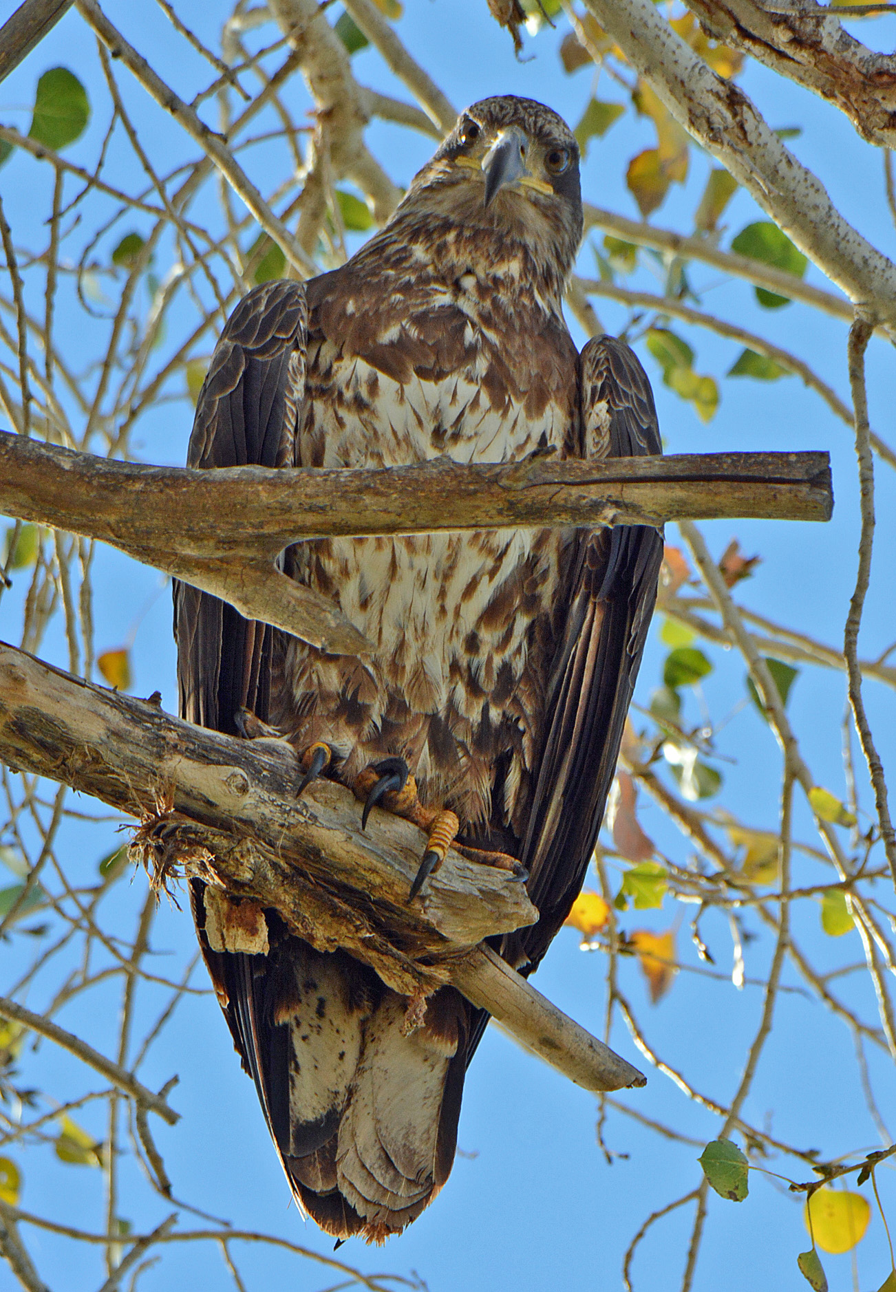 eagle-young-2