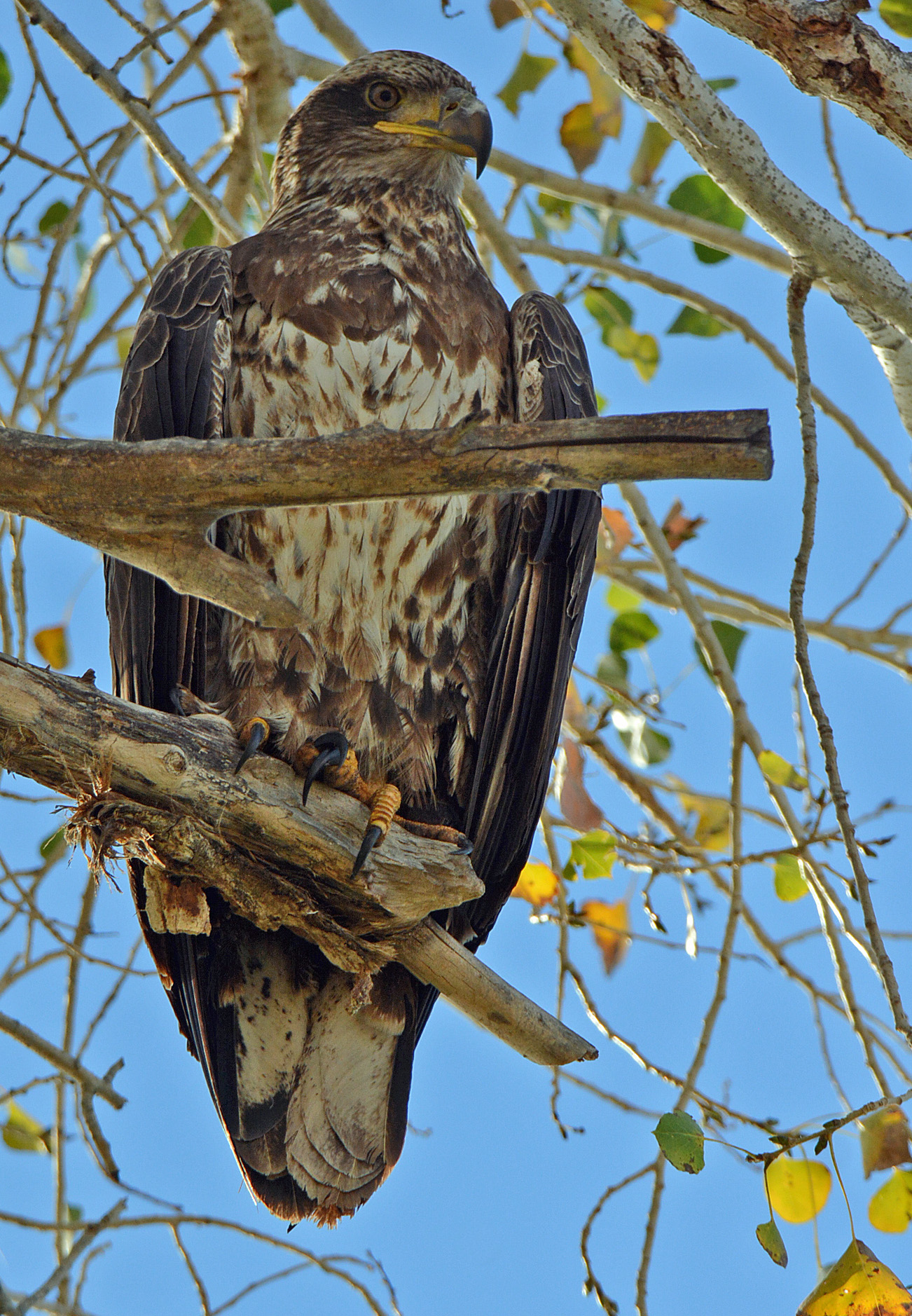 eagle-young-3