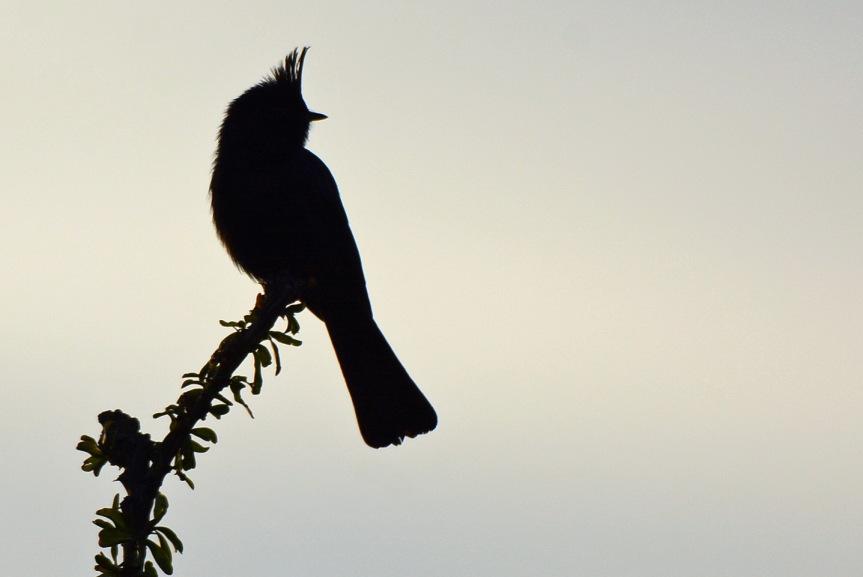 phain-silhouette