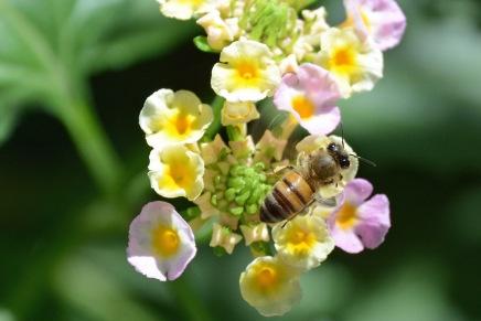 Bee Lantana