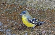 Goldfinch Wet