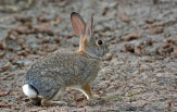 Cottontail 2
