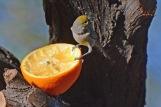 Verdin Orange 1.28.18