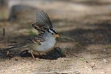 WC Sparrow Flourish