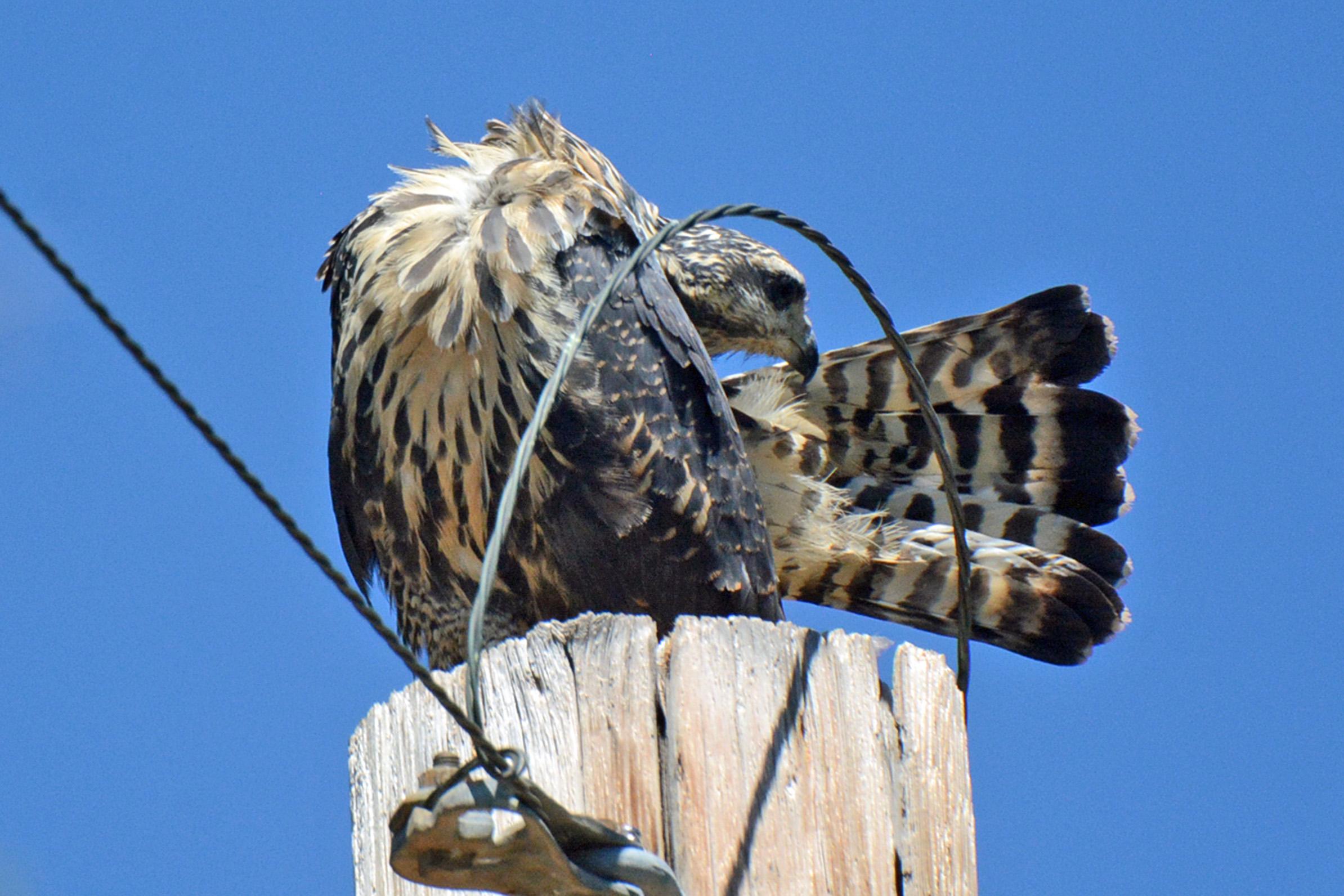Common Blackhawk 2