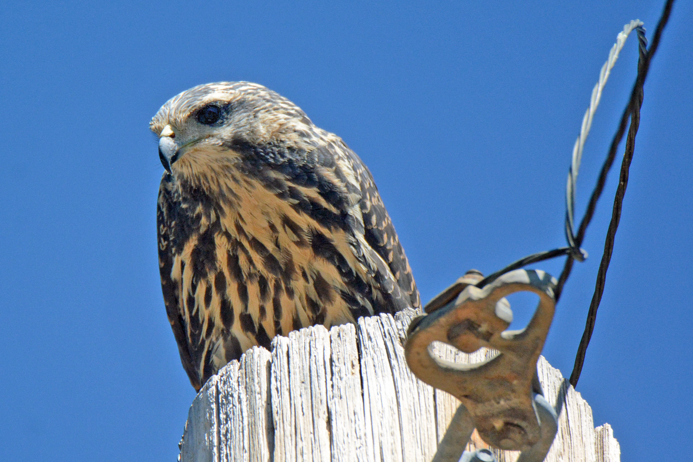 Common Blackhawk 3