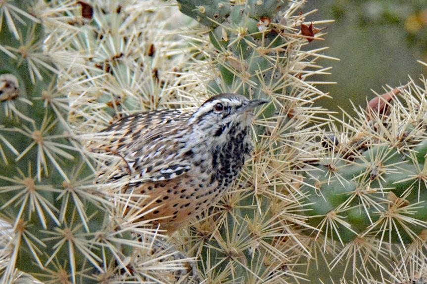 Cactus Wren 2