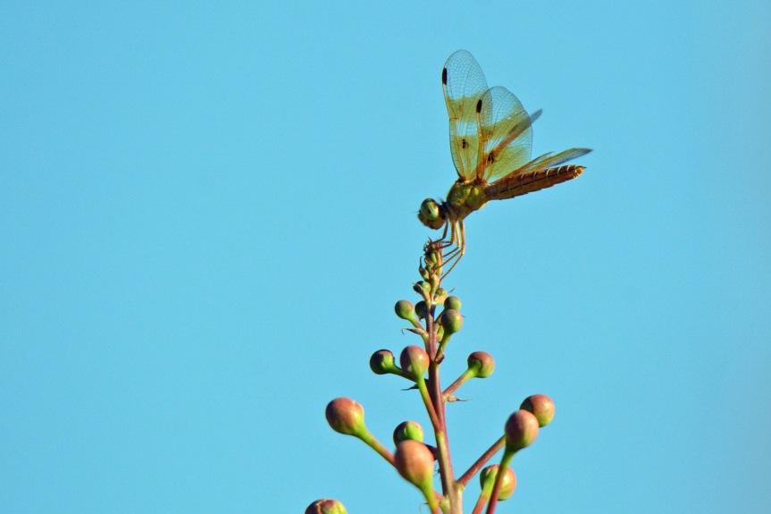 Dragonfly SXG