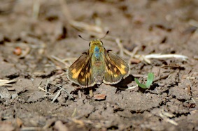 Fiery Skipper Backside 10