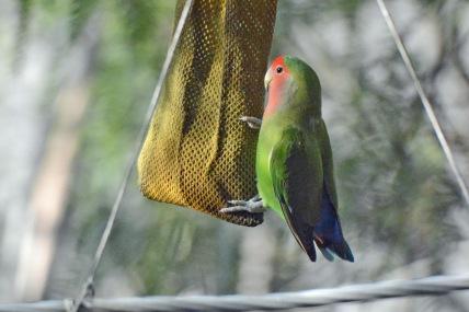 Lovebird 10.16
