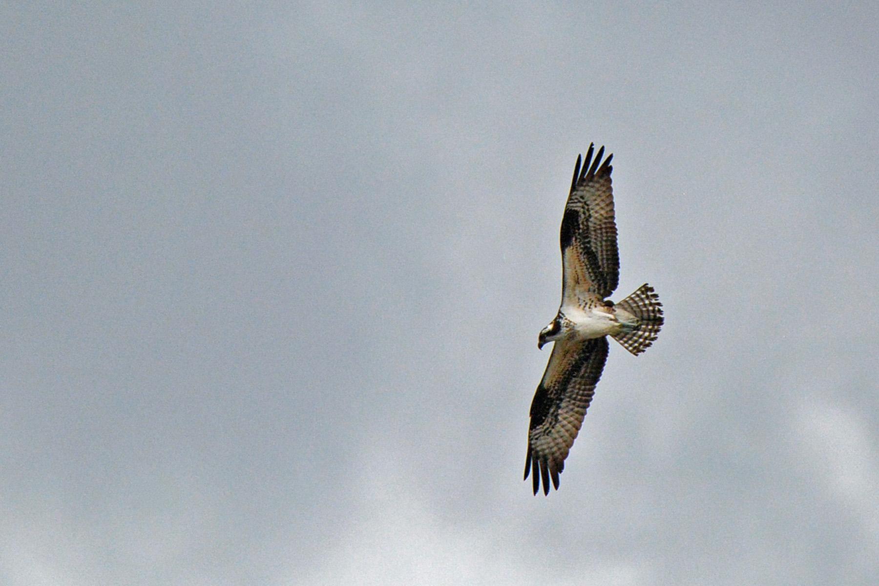 Osprey 2_edited-1
